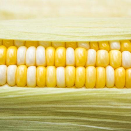 OGM - Organisme génétiquement modifié